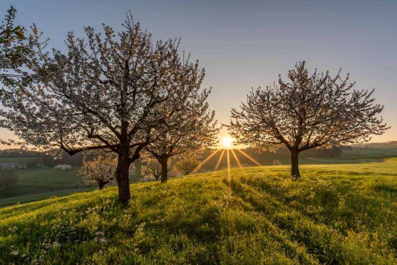 Die Sonne küsst Kirschblüten, © Marco Gisler