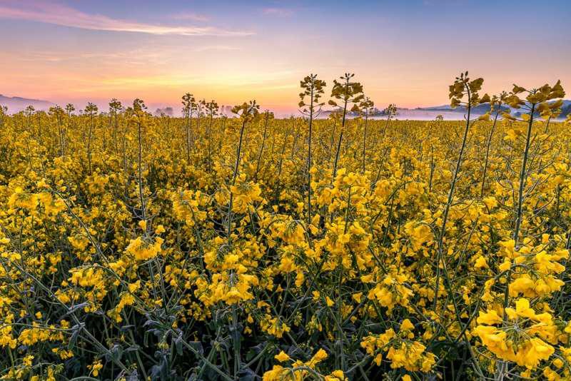 Rapsfeld Sunrise, © Philipp Häfeli