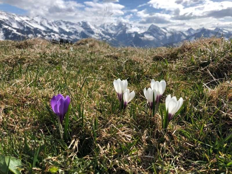 «Krokusse, auch in den Bergen die ersten Frühlingsboten nach dem Schnee» von Beat Knecht
